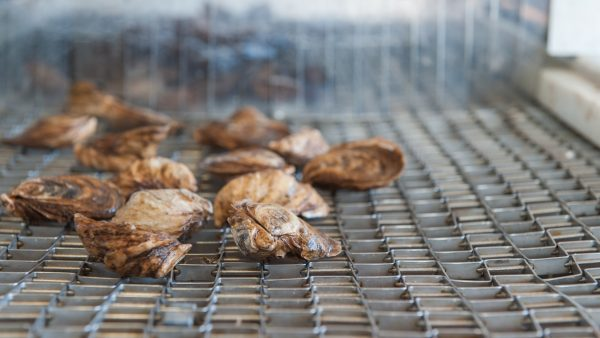 Oysters being processed