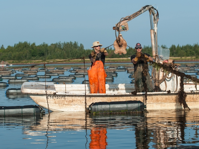 hauling cultured oyster cages