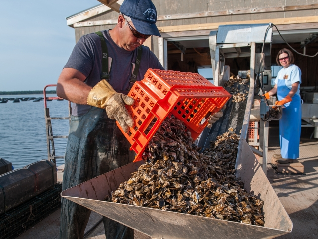 pouring oysters onto sorting line